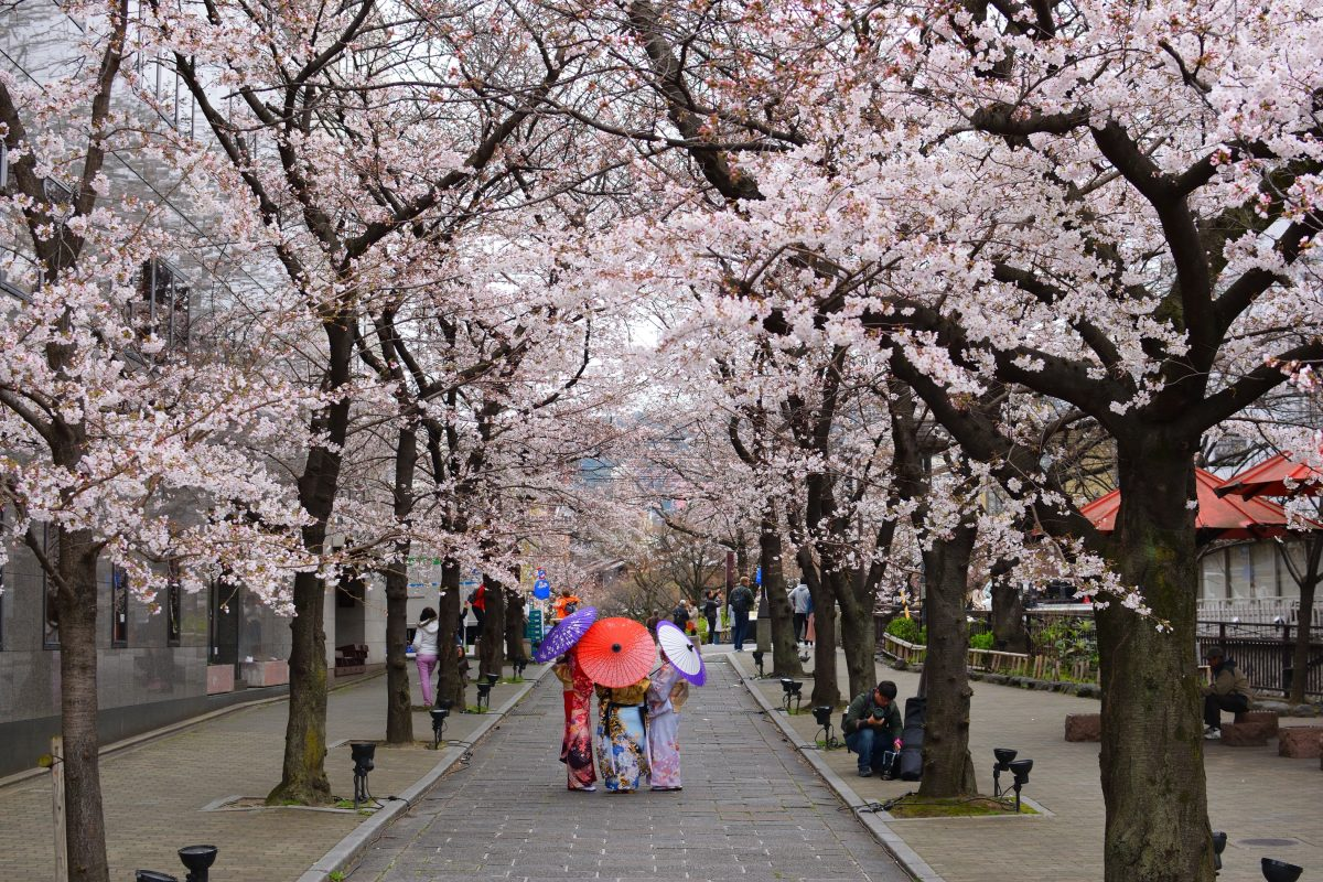 Cherry Blossom in Kyoto City