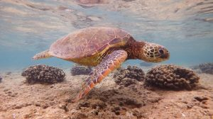 Kauai, Sea turtle, Snorkelling, Hawaii