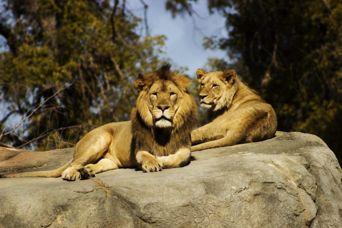 A Lion and Lioness stare at visitors at Singapore Zoo