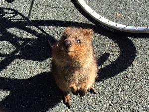 Rottnest Island Wildlife Quokka Australia Animal