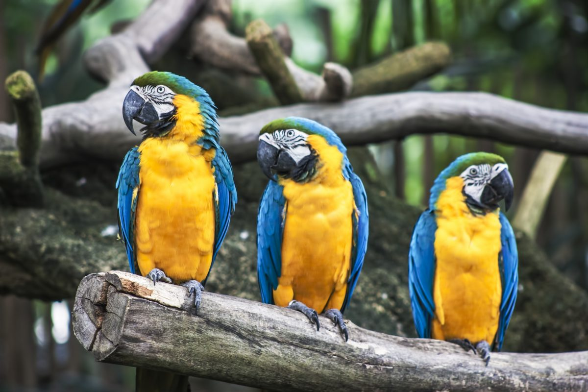 Blue-and-yellow Macaw Parrots at Singapore Zoo