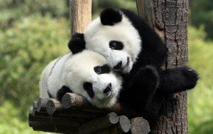 The giant sized Panda, Edinburgh Zoo