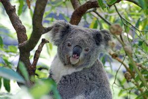 Koala Wildlife Perth, Western Australia