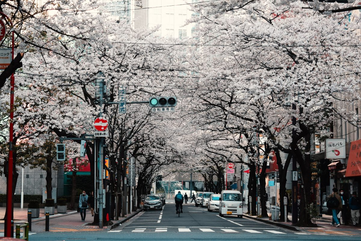 Cherry Blossoms in the streets of Tokyo, Japan