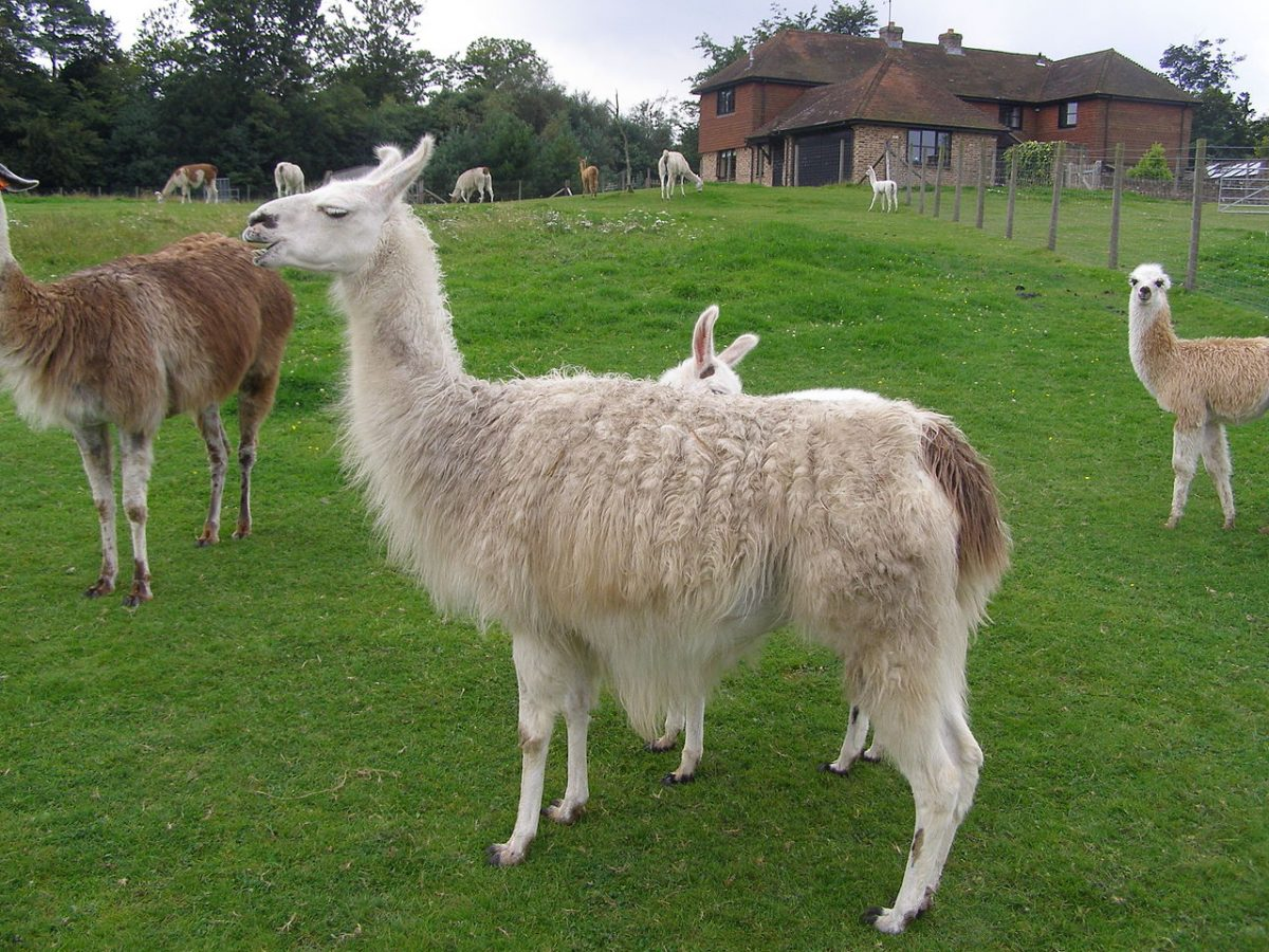 llama park brighton