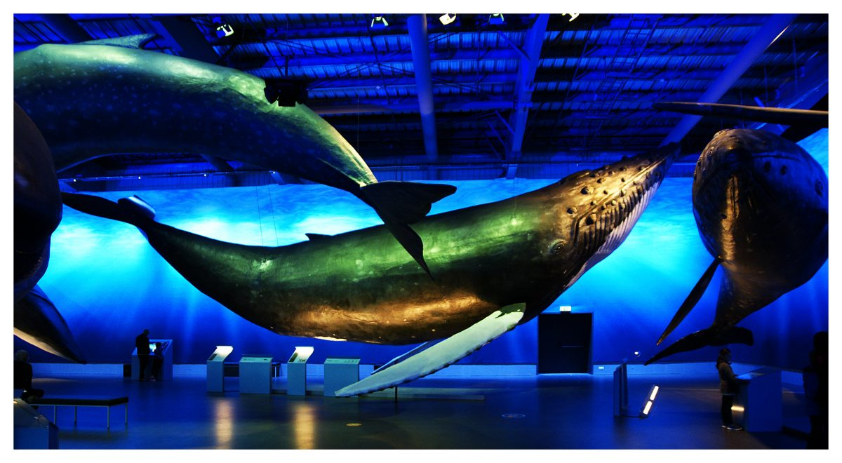 The whales of Iceland Museum is regarded as the biggest whale exhibition in Europe