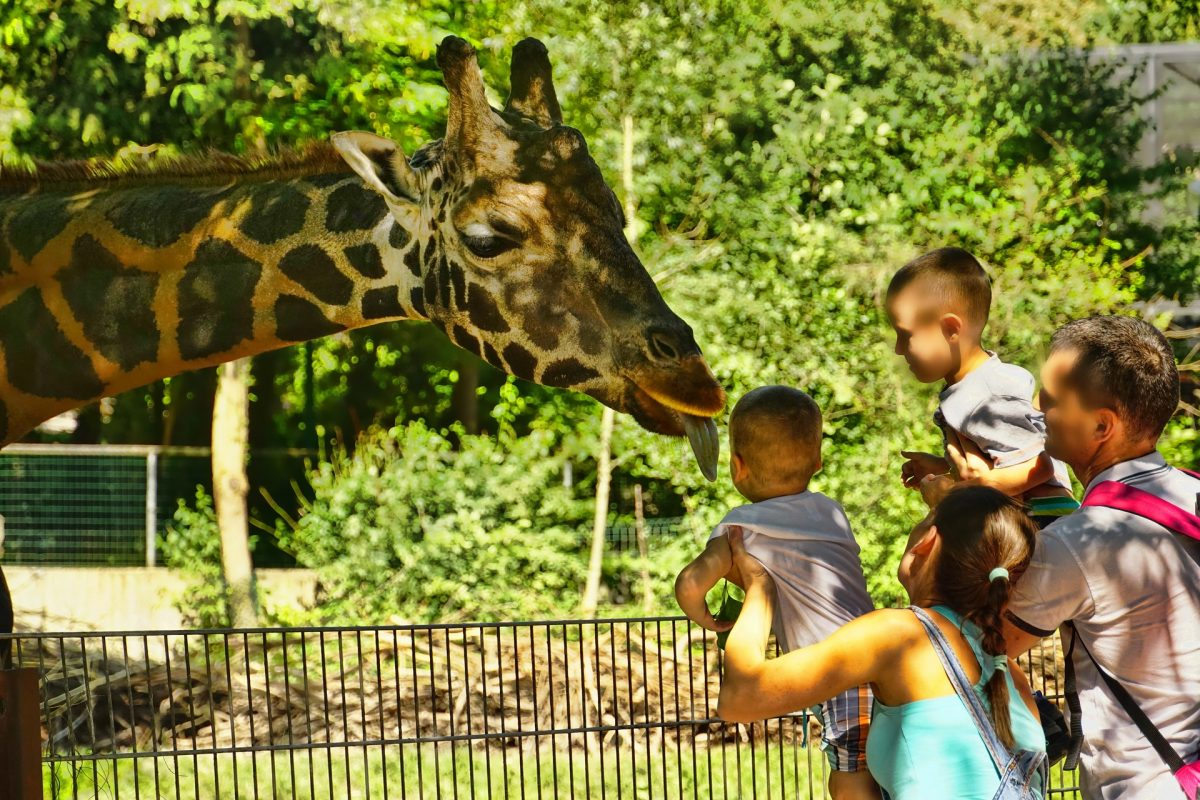Giraffe feeding is led by San Antonio Zoo's giraffe experts who will teach you all about the world's tallest land mammal