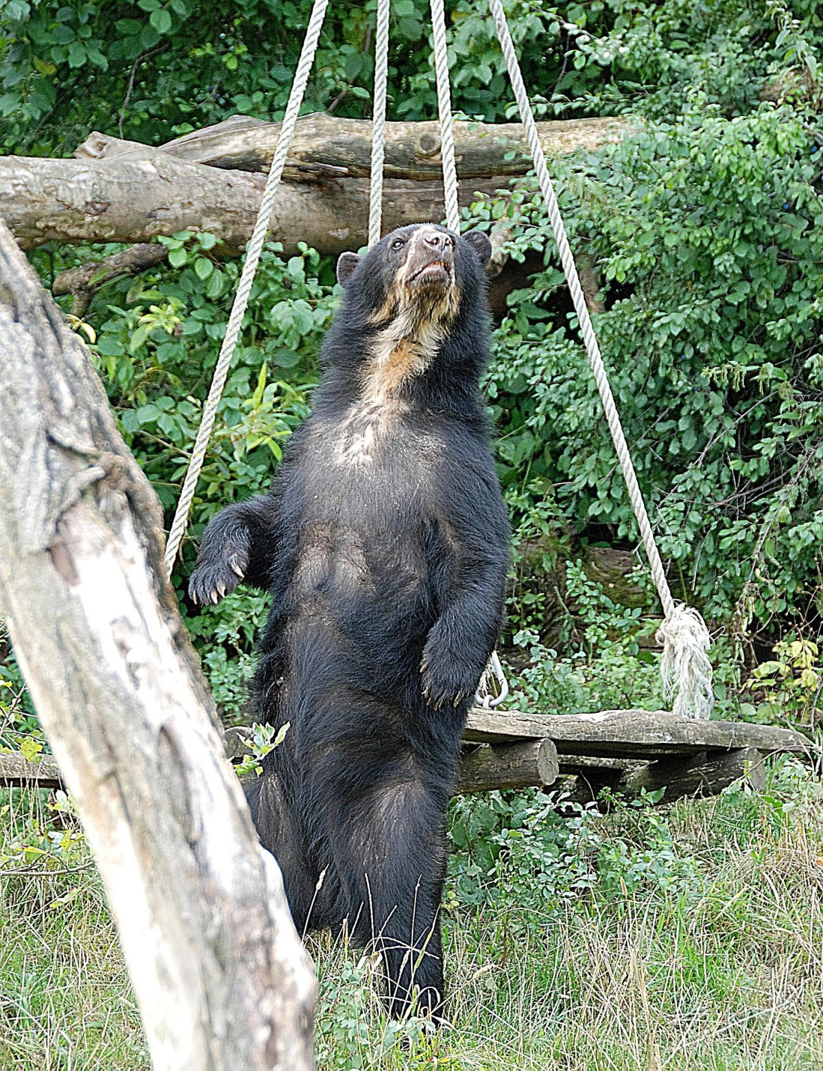 The spectacled bear is the last remaining species of bear native to South America and the last of his kind