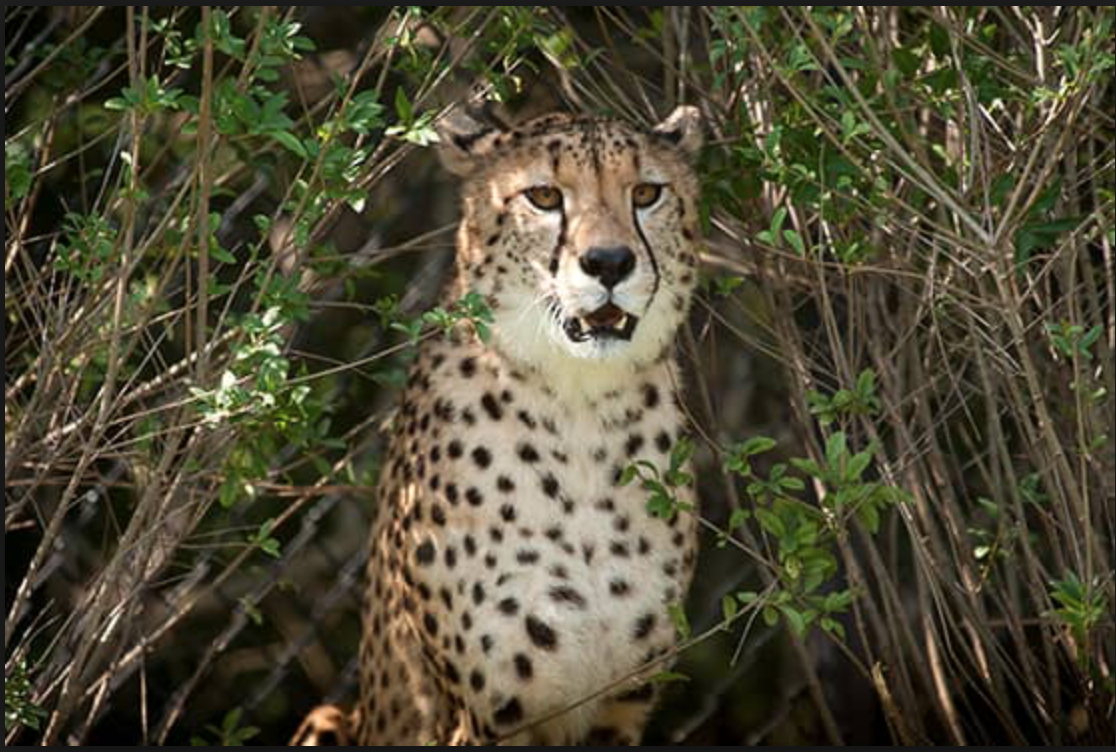 With Pittsburgh Zoo's meticulously maintained conservation projects, the cheetahs in care can live up to 17 years