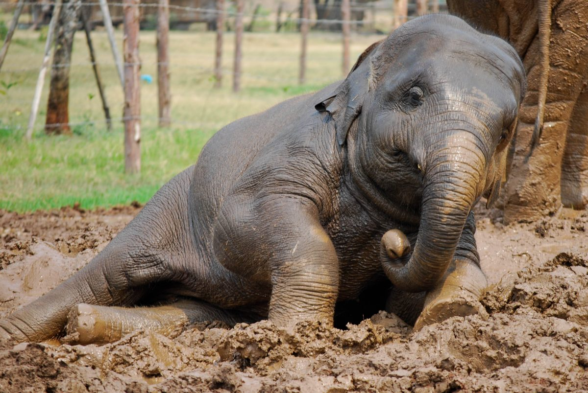 Baby elephant playing mud in Chiang Mai