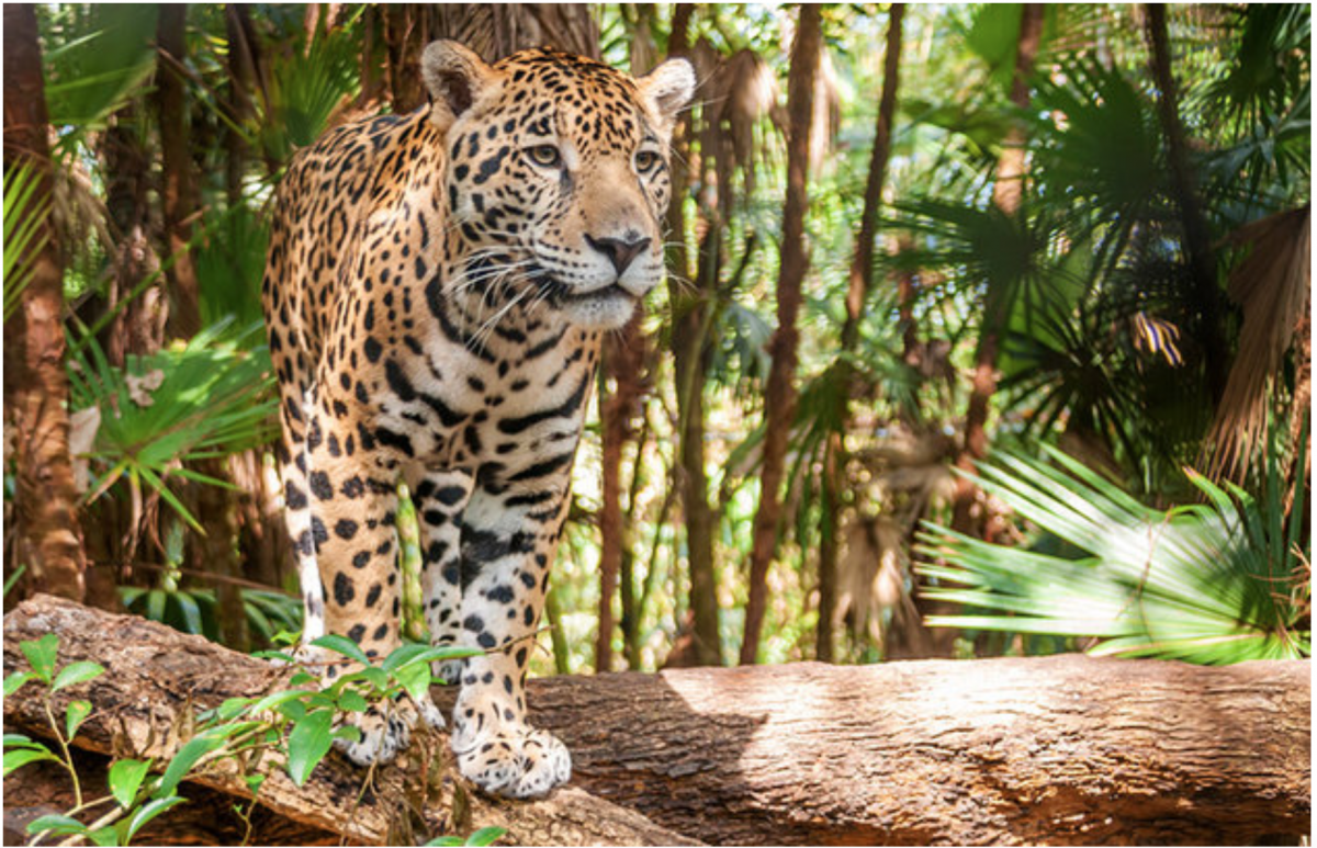 The Cockscomb Basin Wildlife Sanctuary and Jaguar Preserve is home to the world's only jaguar reserve