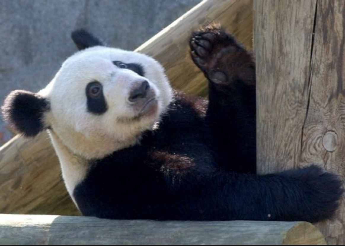 Memphis Zoo is only one of four US zoos that house giant pandas