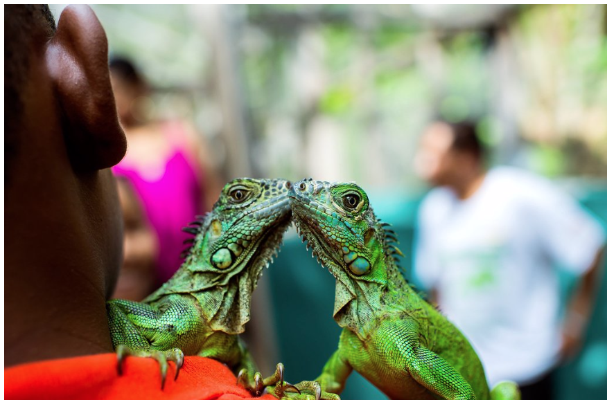 The Green Iguana Conservation Project is a venture to protect the endangered Green Iguana species in Belize