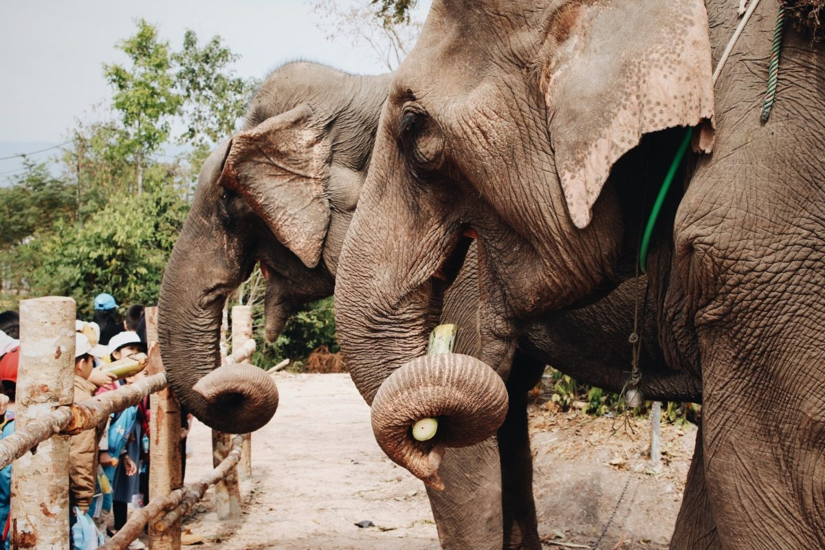 Close up shot of a pair of elephants being fed by visitors at the Sanjay Gandhi National Park Safari in Mumbai