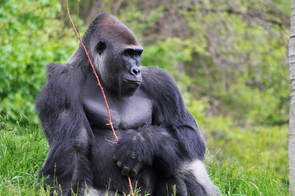 The Great Apes of Harambee exhibit at Detroit Zoo gives visitors a rare chance to see endangered species of primates