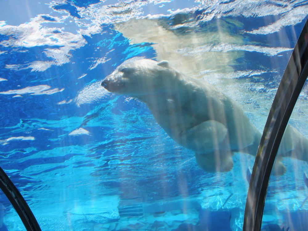 Suka and Nuka are a mated pair of polar bears at Detroit Zoo that can be seen swimming gracefully or sunbathing on the rocks