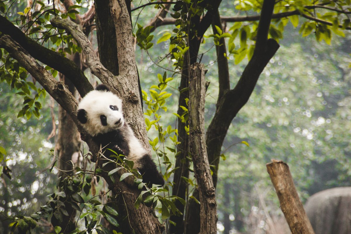 Taiwan's first locally-born panda cub resting on top of a tree