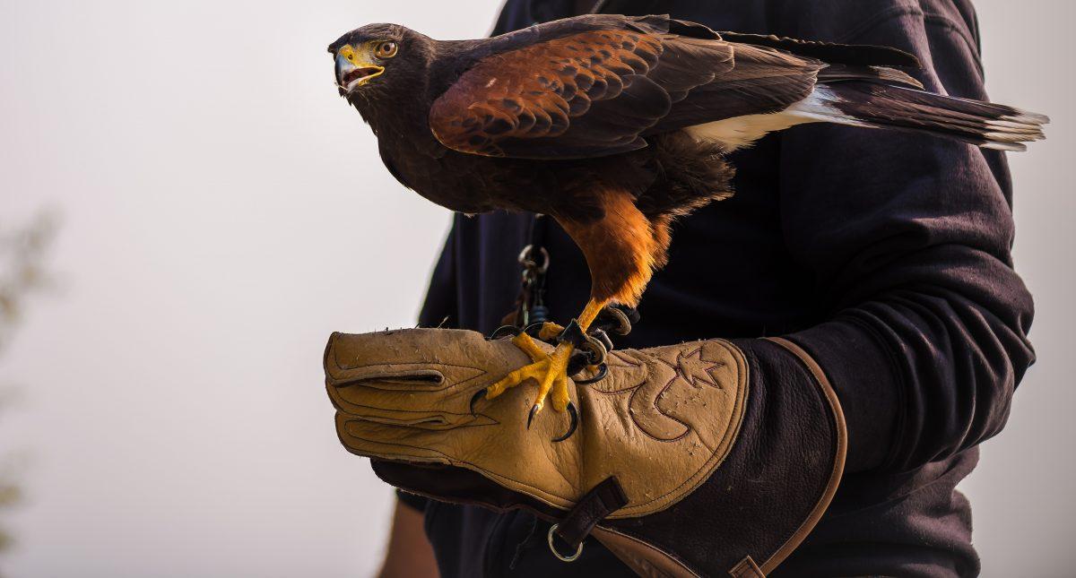 Majestic Falcon in Abu Dhabi