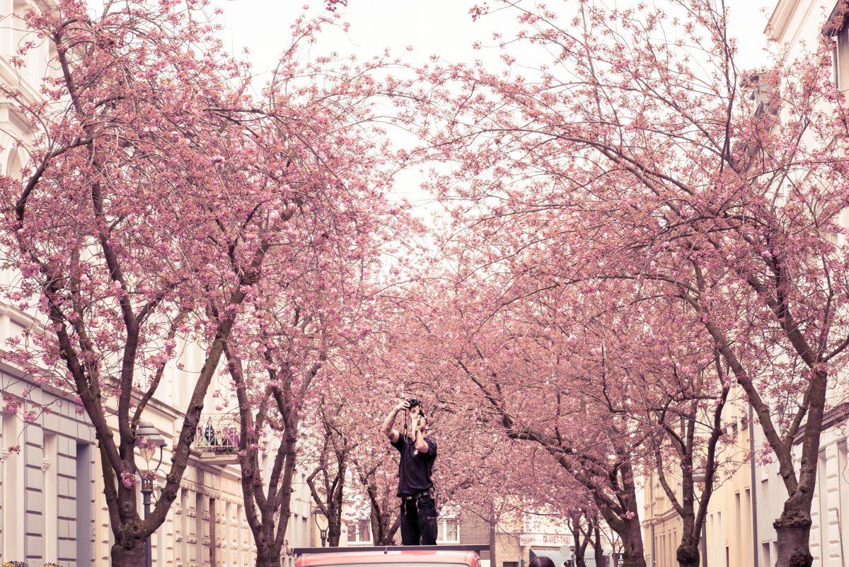 Spring cherry blossom street in Bonn