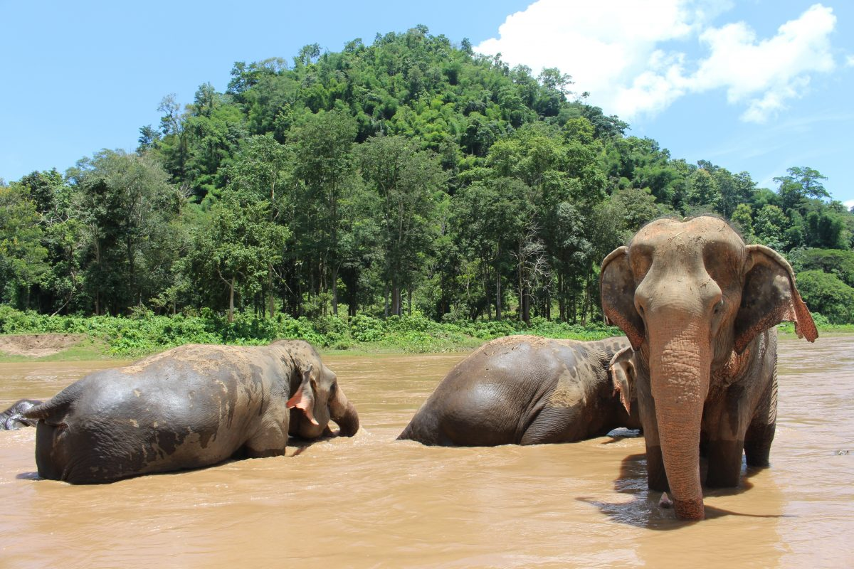 Elephants playing water in the Chiang Mai river