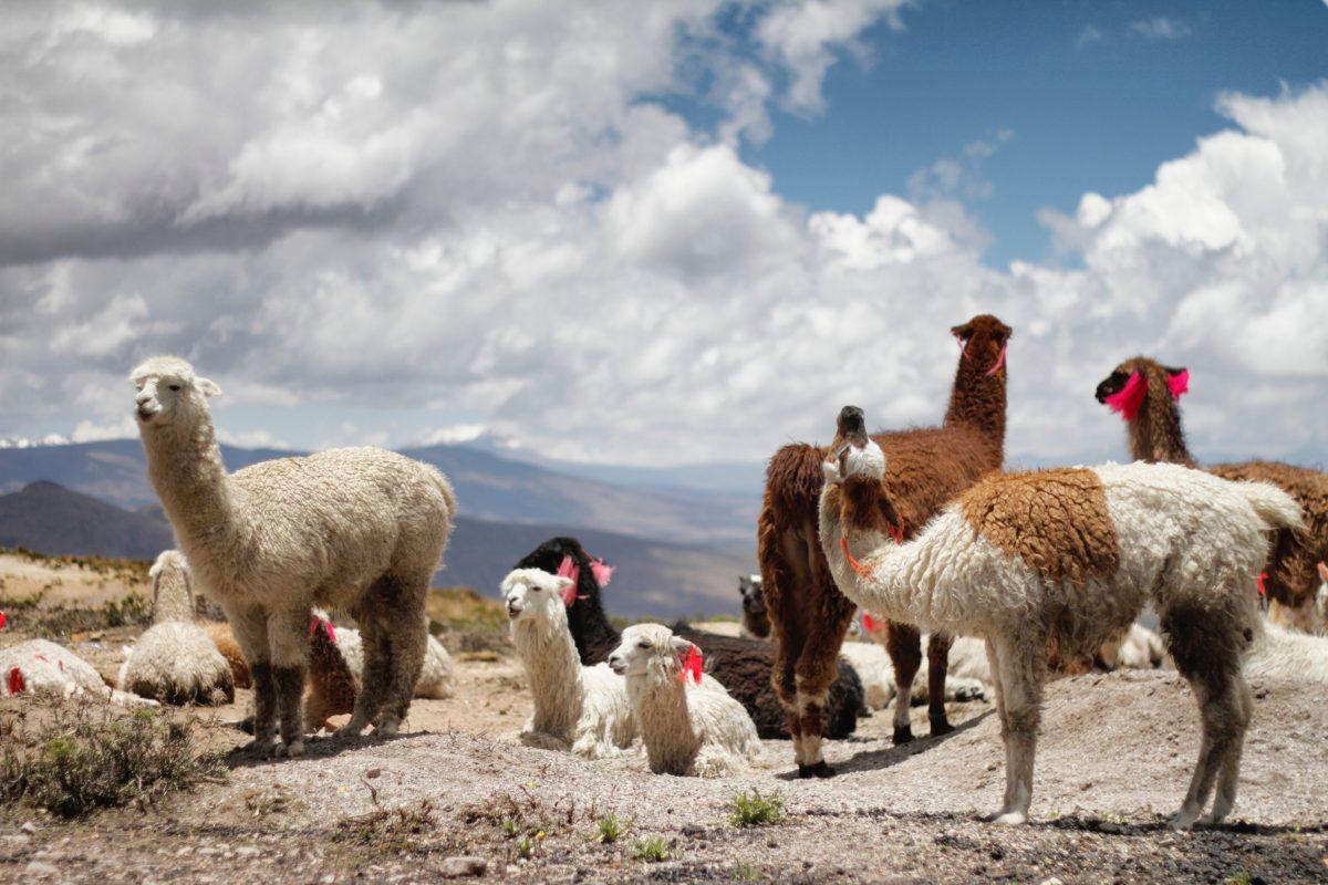 White furry alpaca in Peru