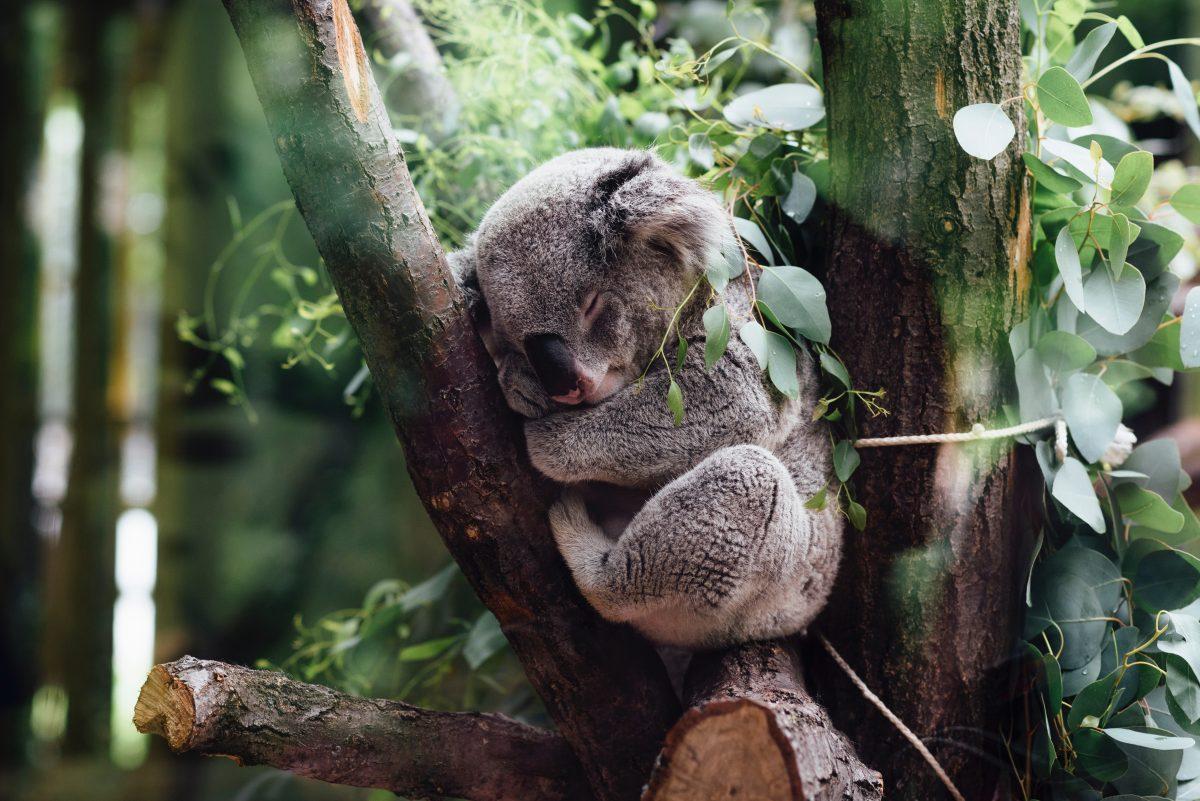 Koala sleeping on tree at Cleland Wildlife Park, Adelaide