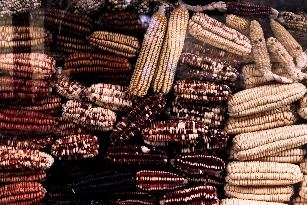 Dried different species of corns