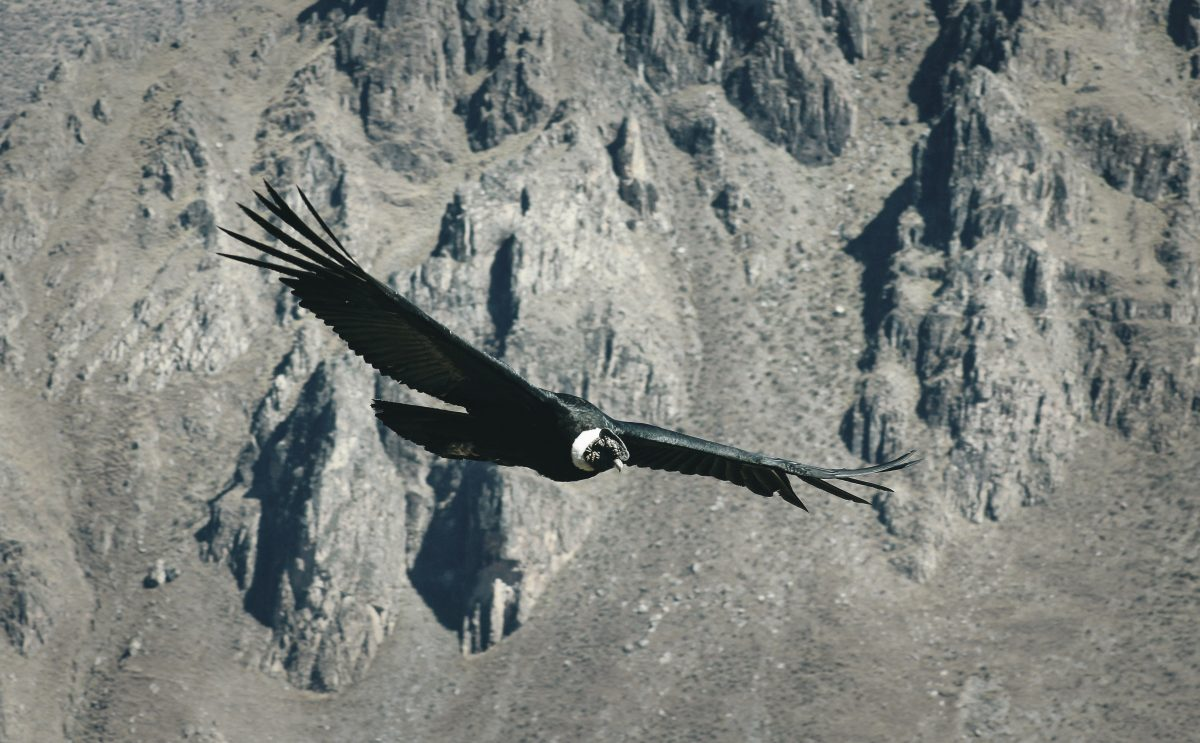 Giant Andean Condor at Colca Canyon Peru