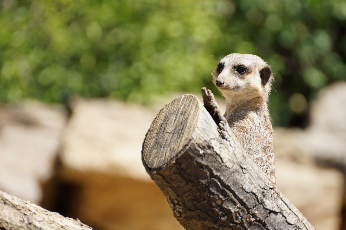 Meerkat at Frankfurt Zoo