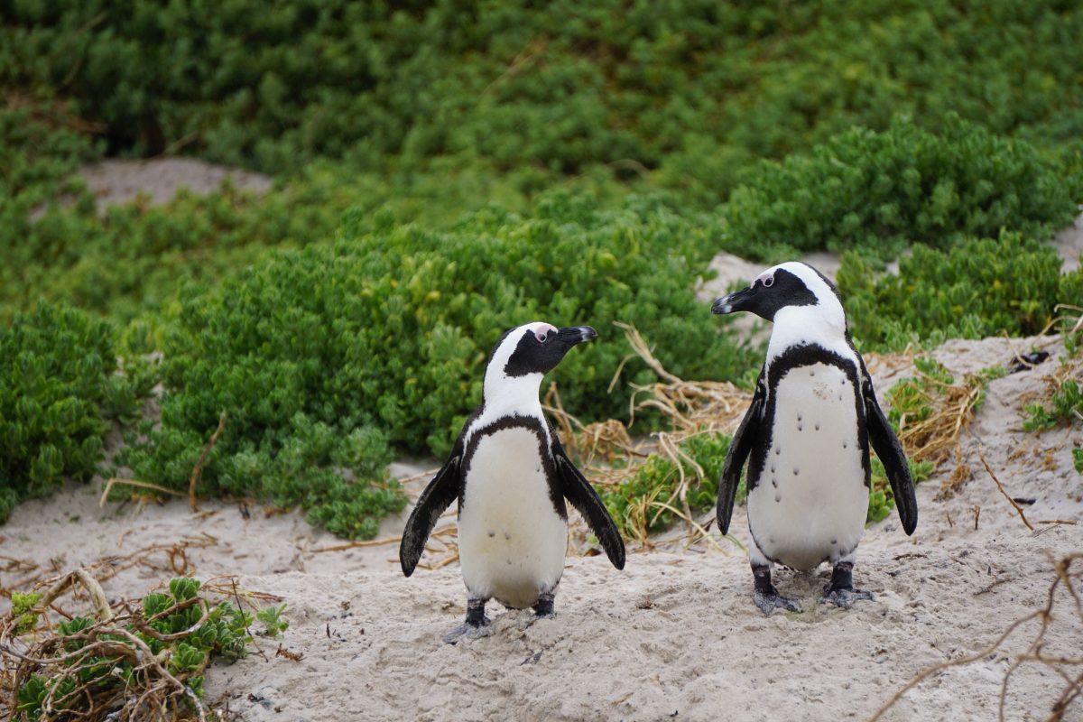 Penguins at Philip Island, Australia