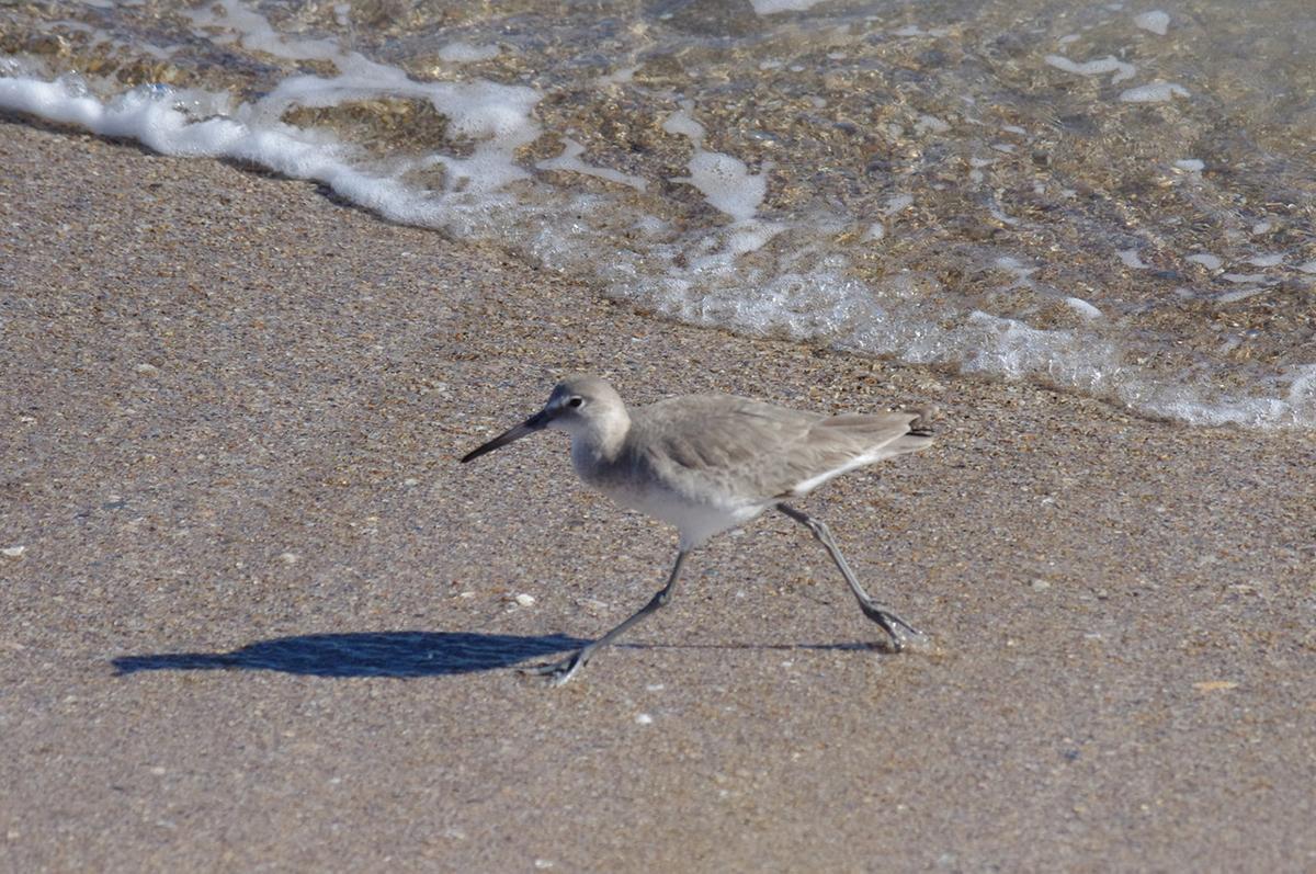 playalinda beach sandpiper 368438 - Strip Down At Playalinda Beach, Florida