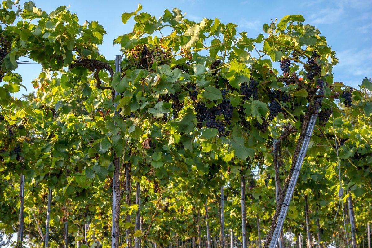 Winery at Ahr Valley, Bonn