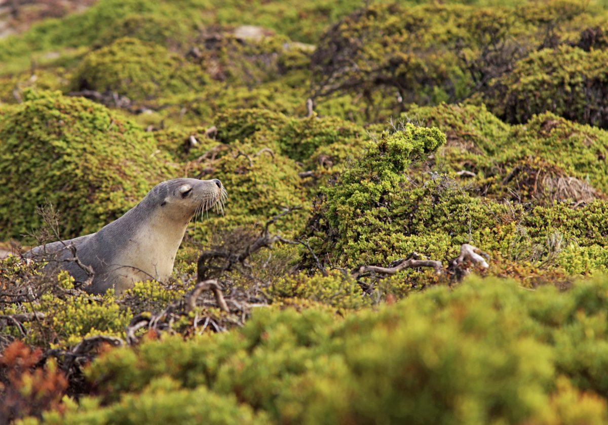 Sealion lounging at Kangaroo Island Adelaide
