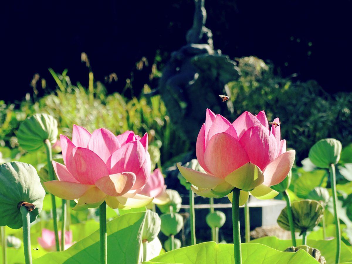 Lotus flower at Himeji Garden Adelaide