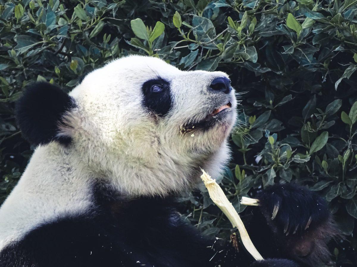 Giant panda Wang Wang and Funi in Adelaide Zoo