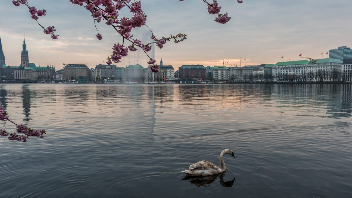 Cherry Blossom at Alster Lake Hamburg