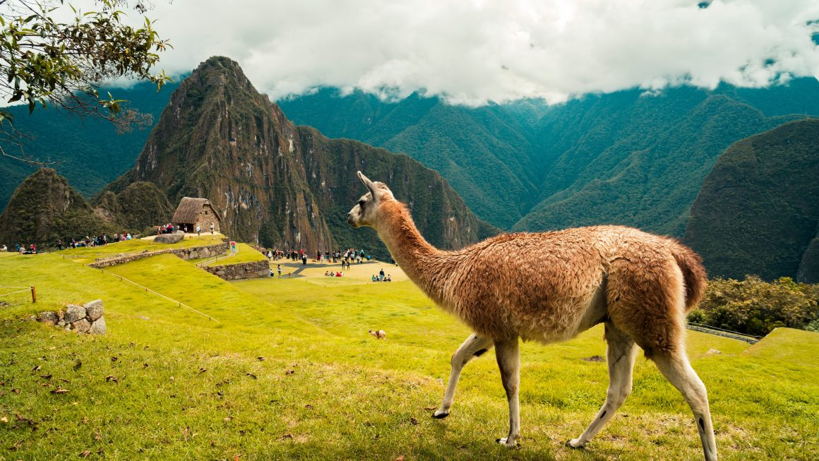 Alpaca at the greenish mountain of Machu Picchu