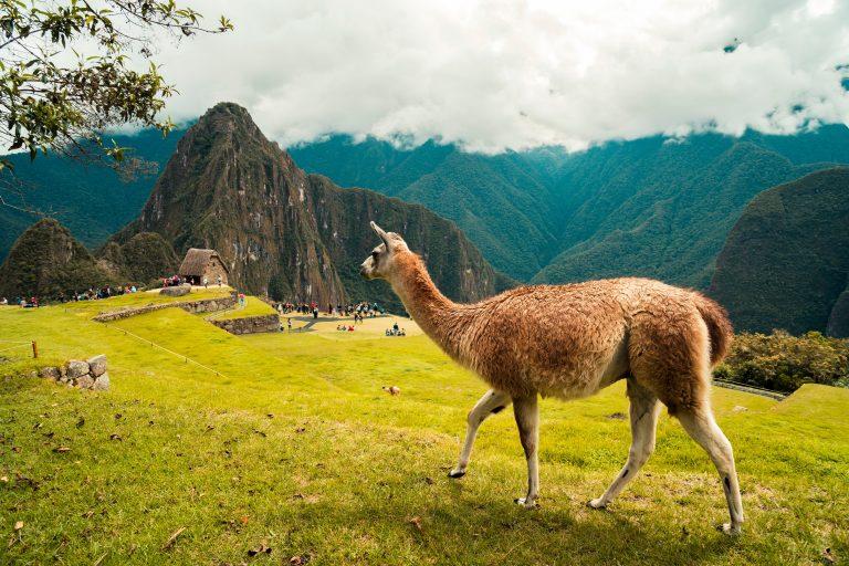 Alpaca at the greenish mountain of Machu Picchu