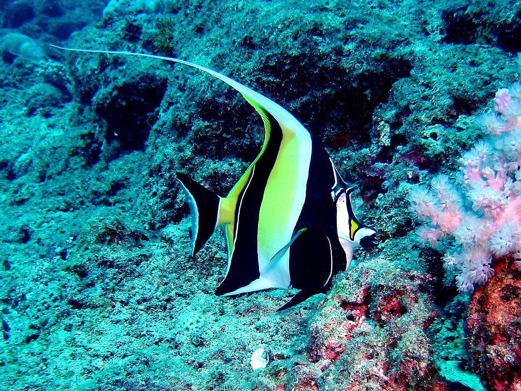 Angelfish in Mauritius