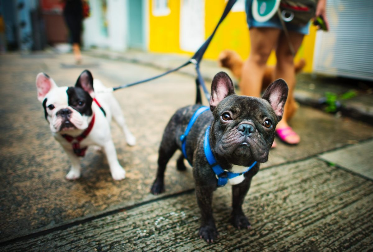 French Bulldogs Going for a Walk