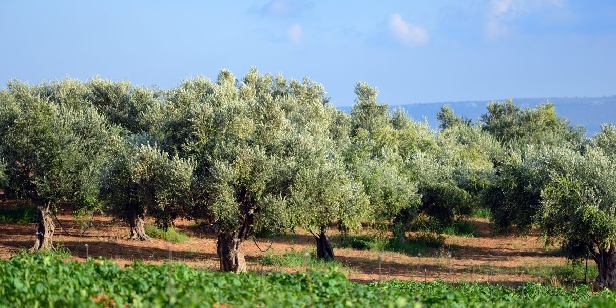 Kalamata is the birthplace of Kalamata olives, a variety of olives that are under Protected Designation of Origin (PDO) status