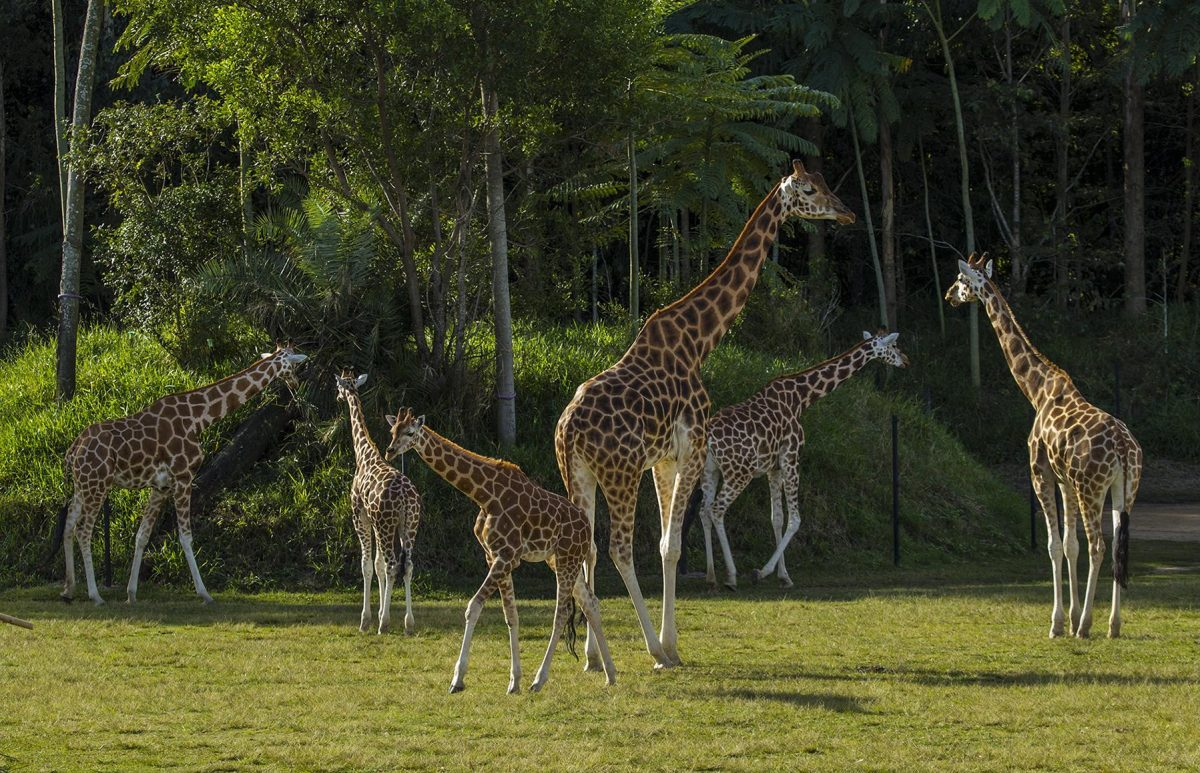 Australia Zoo Giraffes 17531842034 - Everything You Need To Know About The Australia Zoo