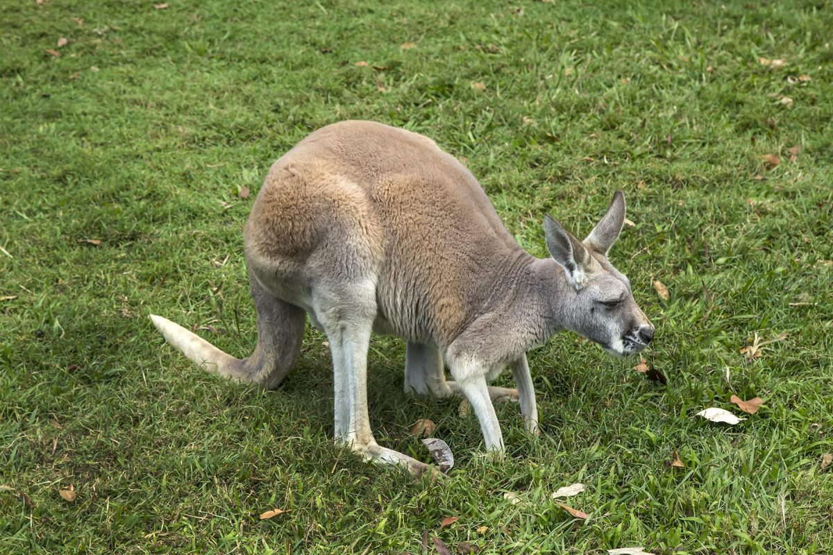 Australia Zoo Kangaroo 1 17587625844 - Everything You Need To Know About The Australia Zoo
