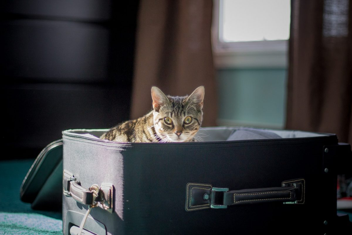 Cat Traveling in a Suitcase
