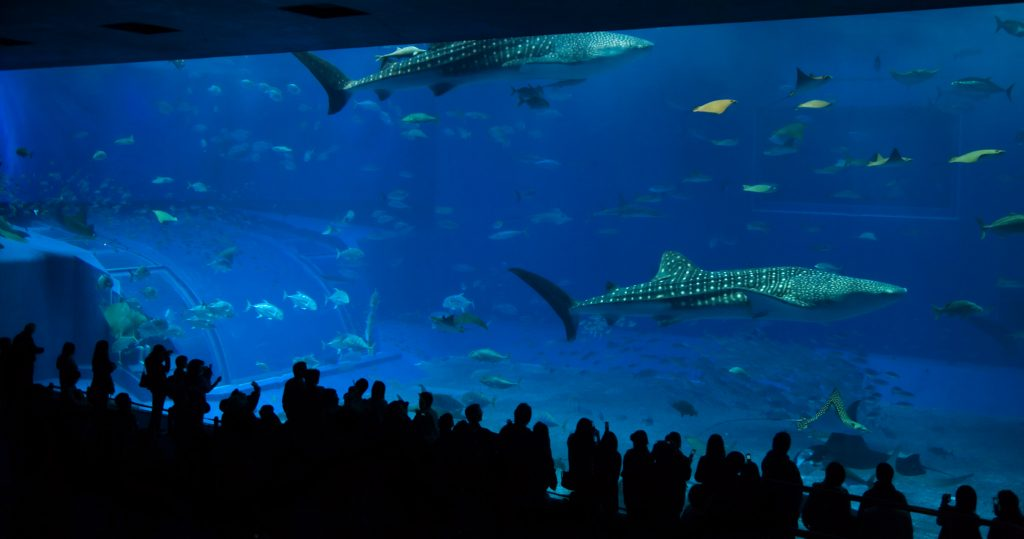 Churaumi Aquarium, arguably Japan's best aquarium