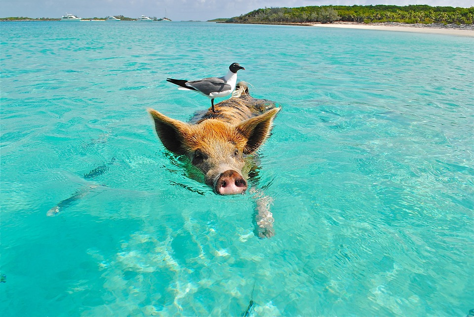 Exuma Bahamas, Main Attraction, Swimming Pigs