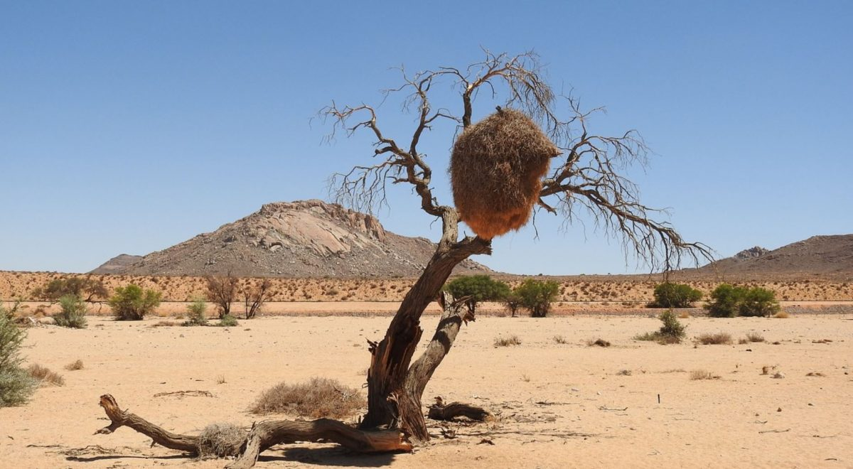 Kalahari withered tree