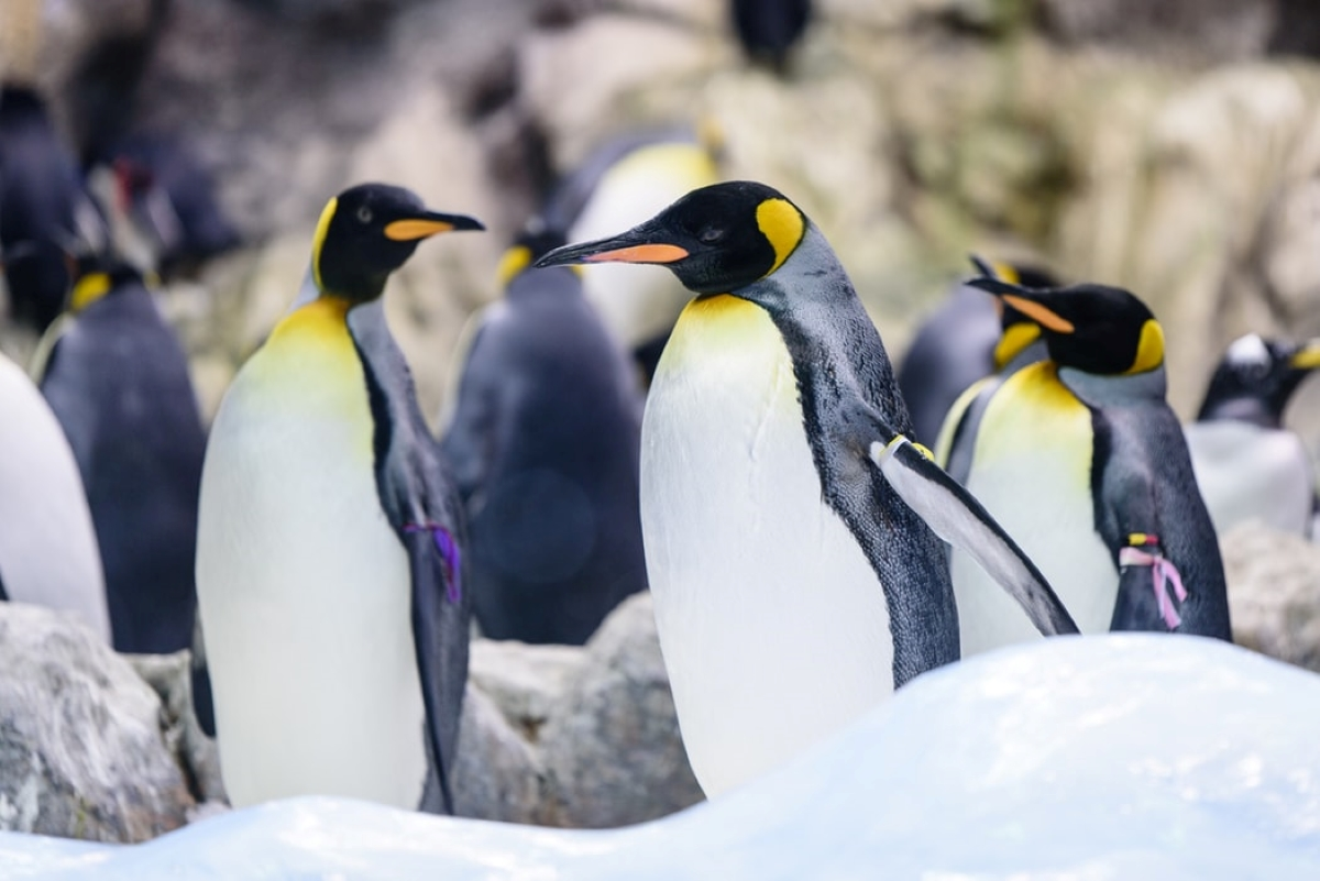 King penguins gathering