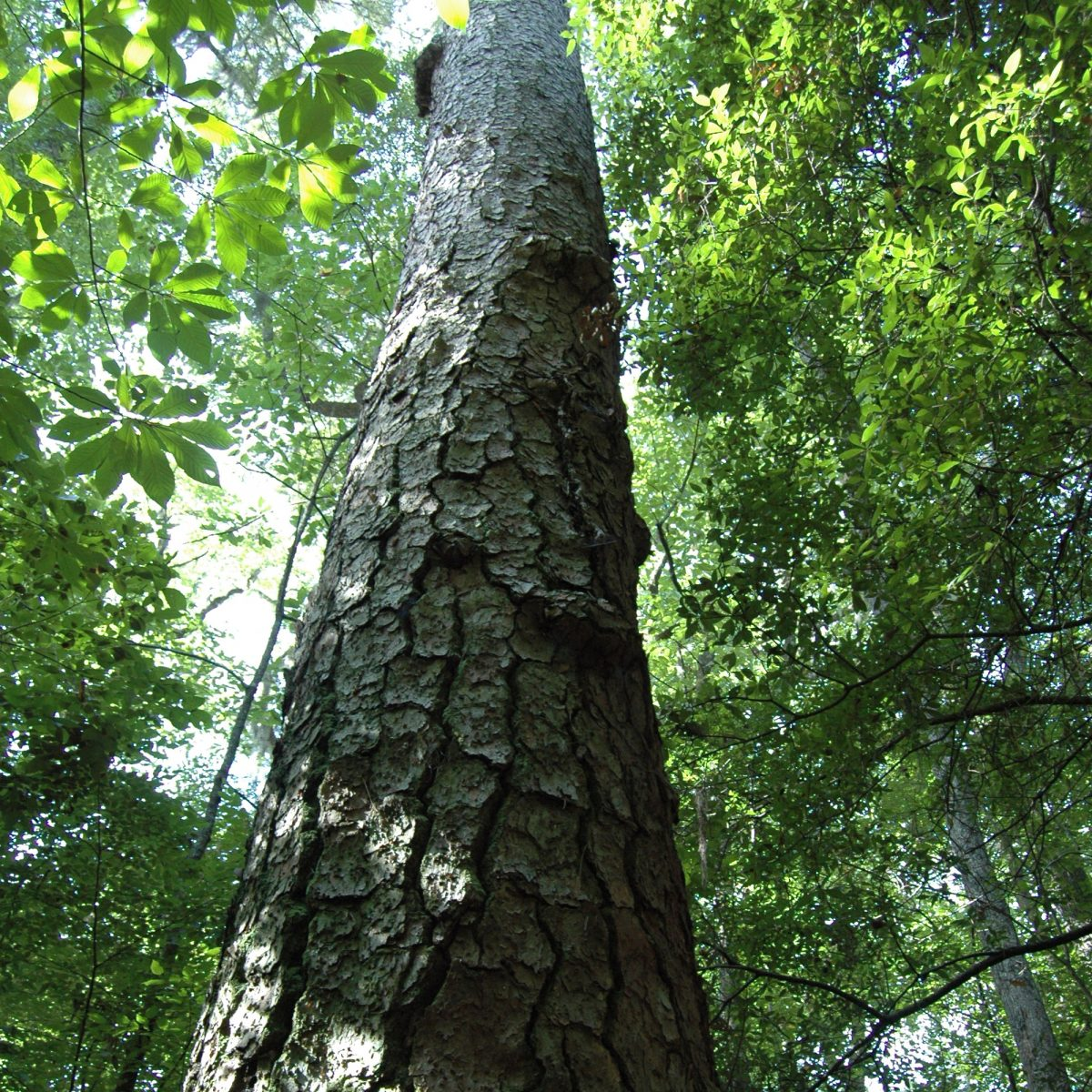 Loblolly Pine in Congaree National Park