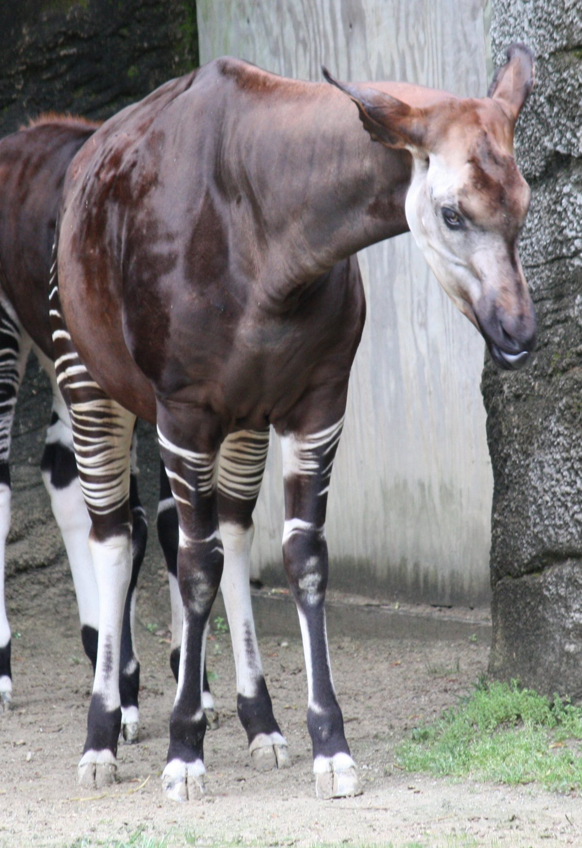 Okapi 0469 - Everything You Need To Know About The Ueno Zoo